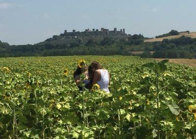 San Gimignano to Siena bike tour - Sunflowers in Tuscany | bikeinflorence.com