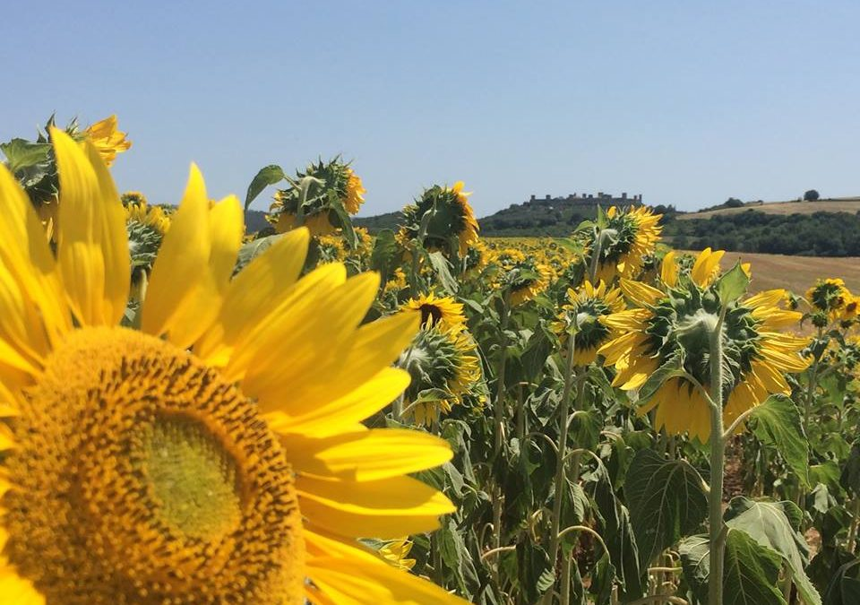 5 Ways to See Sunflowers in Tuscany UPDATED: May 2019
