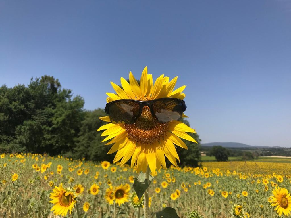 Sunflower Tour in Tuscany : Bike Florence & Tuscany